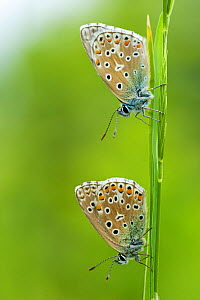 Two Adonis blue butterflies (Polyommatus bellargus), La Brenne Regional Natural Park, France, May. - Lorraine Bennery