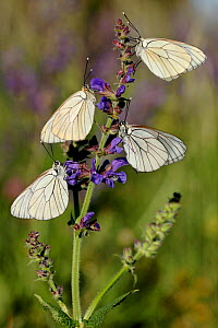 Black-veined white butterflies, (Aporia crataegi) on Sage flowers (Salvia pratensis), Haut-Languedoc Regional Natural Park, France, May.  -  Lorraine Bennery