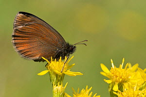 Yellow-spotted ringlet butterfly (Erebia manto), Auvergne Volcanoes Regional Park, France, July.  -  Lorraine Bennery