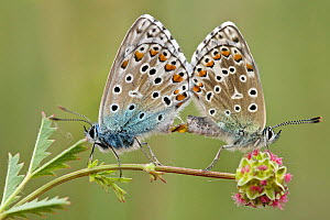 Adonis blue butterflies (Polyommatus bellargus) pair mating on Salad burnet (Sanguisorba minor), Provence, France, May. - Lorraine Bennery