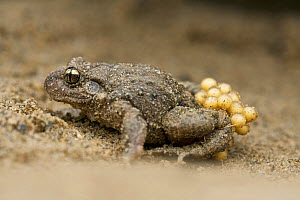 Midwife toad male (Alytes obstetricans) carrying his eggs,  Pyrenees Ariegeoises Regional Natural Park, Ariege, France, March.  -  Lorraine Bennery