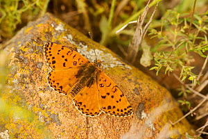 Spotted fritillary butterfly (Melitaea didyma), Coussouls de Crau National Natural Reserve, Bouches du Rhone, France, May.  -  Lorraine Bennery