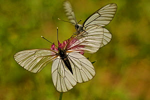 Black veined white butterfly (Aporia crataegi) male approaching female, Hautes-Alpes, France, June.  -  Lorraine Bennery