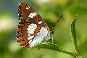 Southern white admiral butterfly (Limenitis reducta) on leaves, Durance river, France, May.  -  Lorraine Bennery