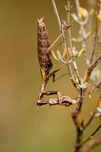 Praying mantis (Ameles decolor) female eating a male after mating, Vaucluse, France, September. - Lorraine Bennery