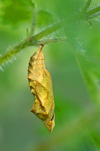 Small tortoiseshell butterfly (Aglais urticae) chrysalis, Regional Natural Park of the Pyrenees Ariégeoises, France, July.  -  Lorraine Bennery