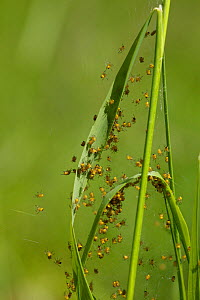 Orb web spider (Argiope bruennichi) spiderlings Grands Causses Regional Natural Park, France, May.  -  Lorraine Bennery