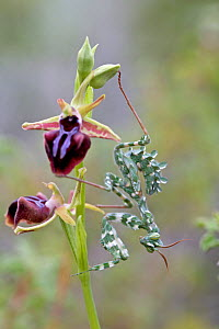 Striped mantis (Blepharopsis mendica) on nymph,  Bee orchid (Ophrys morio), Cyprus, March. - Lorraine Bennery