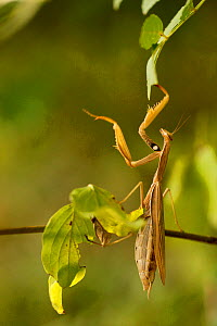 European praying mantis (Mantis religiosa) female, Plaisians, Drome, France, September. - Lorraine Bennery