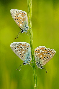 Three Adonis blue butterflies (Polyommatus bellargus), La Brenne Regional Natural Park, France, May. - Lorraine Bennery