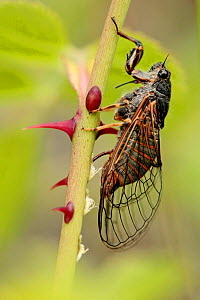 New Forest cicada (Cicadetta montana) laying eggs on Dog-rose (Rosa cania), Vaucluse, France, June. - Lorraine Bennery