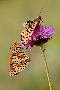 Spotted fritillary butterflies (Melitaea didyma) male approaching female, Luberon Regional Natural Park, France, June.  -  Lorraine Bennery
