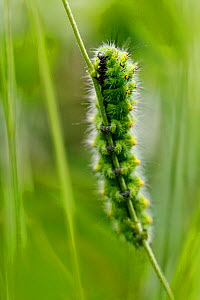 Emperor moth caterpillar (Pavonia pavonia), Vosges Balloons Regional Park, France, July. - Lorraine Bennery