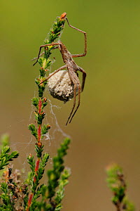 Nursery web spider (Pisaura mirabilis) female with egg cocoon, Fontainebleau forest, France, July. - Lorraine Bennery
