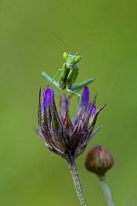European dwarf mantid (Ameles spallanziana), Crete island, Greece, April. - Lorraine Bennery