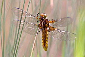 Broad bodied chaser dragonfly (Libellula depressa),  Grands Causses Regional Natural Park, France, May.  -  Lorraine Bennery