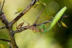 European praying mantis female (Mantis religiosa) eating a male after mating, Vaucluse, France, September. - Lorraine Bennery