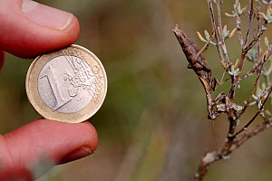 One euro coin compared with the size of a Praying mantis (Ameles decolor) female eating male after mating, Vaucluse, France, September. - Lorraine Bennery