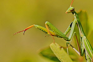 European praying mantis (Mantis religiosa), Plaisians, Drome, France, September. - Lorraine Bennery