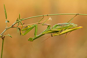 European praying mantis (Mantis religiosa) pair mating, Baronnies Provencales Regional Natural Park, France, September. - Lorraine Bennery