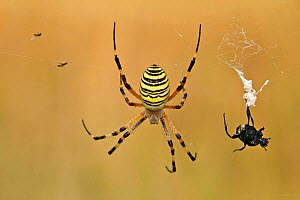 Orb web spider (Argiope bruennichi) on web with a prey, Baronnies Provencales Regional Natural Park, France, September.  -  Lorraine Bennery