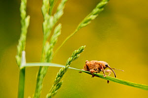 Hazelnut weevil (Curculio nucum) on a grass, La Brenne Regional Natural Park, France, May.  -  Lorraine Bennery
