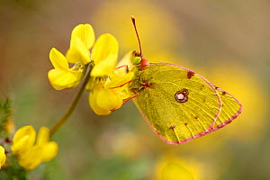 Berger's clouded yellow butterfly (Colias alfacariensis) on Trefoil (Lotus sp.), Hautes-Alpes, France, April.  -  Lorraine Bennery