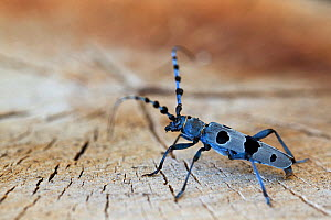 Alpine longhorn beetle (Rosalia alpina), Allier, France, July. - Lorraine Bennery