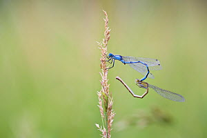 Common blue damselfly (Enallagma cyathigerum) gripping female with tail claspers as she prepares to mate in wheel position, Haut-Rhone Francais National Natural Reserve, France, June.  -  Lorraine Bennery