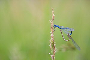 Common blue damselfly (Enallagma cyathigerum) gripping female with tail claspers as she prepares to mate in wheel position, Haut-Rhone Francais National Natural Reserve, France,June.  -  Lorraine Bennery