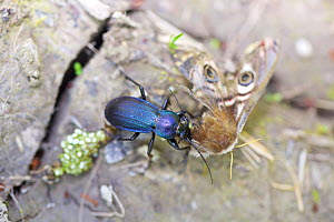Beetle eating giant peacock moth (Saturnia pyri) female, Isere, France, April.  -  Lorraine Bennery