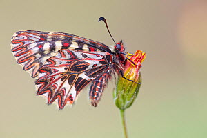 Southern Festoon butterfly (Zerynthia polyxena), Plaine des Maures National Natural Reserve, France, April.  -  Lorraine Bennery