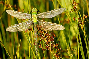 Emperor dragonfly (Anax imperator) freshly emerged, La Brenne Regional Natural Park, France, June. - Lorraine Bennery