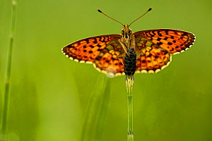 Lesser marbled fritillary butterfly (Brenthis ino), Haute-Savoie, France, June.  -  Lorraine Bennery