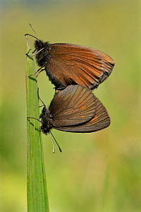 Yellow-spotted ringlet butterflies (Erebia manto) mating, Auvergne Volcanoes Regional Park, France, July.  -  Lorraine Bennery