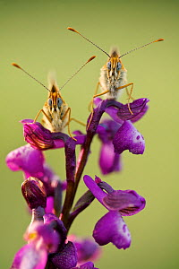 Knapweed fritillary butterflies (Melitaea phoebe) on Green winged orchid (Anacamptis morio),  Grands Causses Regional Natural Park, France, May.  -  Lorraine Bennery