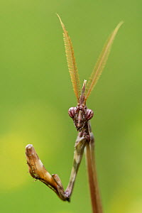 Conehead mantis (Empusa pennata) male, Dourbie river, Gard Department, France, May. - Lorraine Bennery