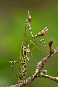 Conehead mantis (Empusa pennata), Dourbie river,  Gard Department, France, May. - Lorraine Bennery