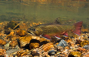 Brook trout (Salvelinus fontinalis) resting between building a redd into which she deposits eggs, then waits for a male to come along and fertilize them. Rocky Mountain National Park, Colorado, USA, S...  -  Charlie  Summers