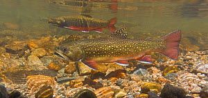 Brook trout (Salvelinus fontinalis) female in the foreground with a male in the background and another male in the far background.The female digs a hole or redd into which she deposits her eggs, and t...  -  Charlie  Summers