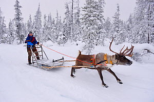RF - Reindeer sledding  with Sami reindeer herdsman  in -25 degrees. Jukkasjarvi, Lapland, Laponia, Norrbotten county, Sweden. January 2016. (This image may be licensed either as rights managed or roy...  -  Staffan Widstrand