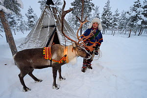 RF - Sami man with Reindeer for sledding  in - 25 C, Jukkasjarvi, Lapland, Laponia, Sweden. January 2016. Model released. (This image may be licensed either as rights managed or royalty free.)  -  Staffan Widstrand