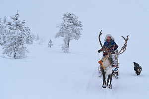 RF - Reindeer sledding in - 25 C, Jukkasjarvi, Lapland, Laponia,  Sweden. January 2016. Model released. (This image may be licensed either as rights managed or royalty free.)  -  Staffan Widstrand