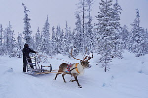 A reindeer sledding tour experience with sami reindeer herdsmen at the Reindeer Lodge in -25 degrees C, run by Nutti Sami Siida, near the Icehotel, in Jukkasjarvi, Lapland, Laponia, Norrbotten county,...  -  Staffan Widstrand