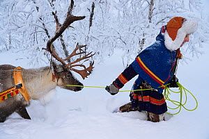 Reindeer sledding in - 25 C, with Nils-Torbjorn Nutti, owner and operator of Nutti Sami Siida, Jukkasjarvi, Lapland, Laponia, Norrbotten county, Sweden Model released.  -  Staffan Widstrand
