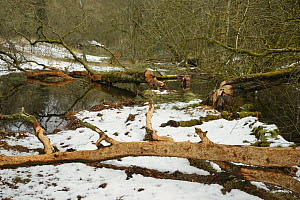 Willow tree (Salix sp.) felled and stripped of its bark by Eurasian beavers (Castor fiber) by a stream in the grounds of Bamff estate, in snow, Alyth, Perthshire, Tayside, Scotland, UK, April.  -  Nick Upton