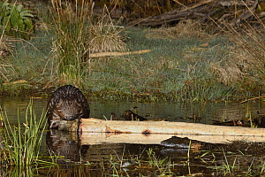 Eurasian beaver (Castor fiber) gnawing bark from a branch it has cut at a feeding station at the edge of its pond at night, Tayside, Perthshire, Scotland, UK, May. Taken with a remote camera trap.  -  Nick Upton