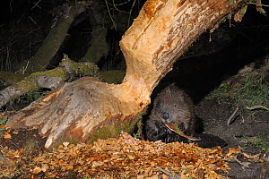 Eurasian beaver (Castor fiber) holding and chewing bark it has gnawed from the trunk of a Willow tree (Salix sp.) in a large woodland enclosure at night, Devon Beaver Project, run by Devon Wildlife Tr... - Nick Upton