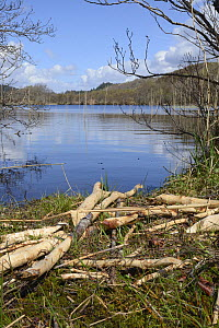 Feeding station with collection of cut branches stripped of their bark by Eurasian beavers (Castor fiber) on the margin of Loch Coille-Bharr by Eurasian beavers (Castor fiber) reintroduced during the...  -  Nick Upton