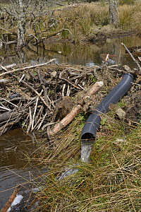 """""""Beaver defeater"""" drainage pipe installed to reduce effectiveness of a dam built by Eurasian beavers (Castor fiber) across a stream in the grounds of Bamff estate, Alyth, Perthshire, Tayside, Scotland...  -  Nick Upton"""